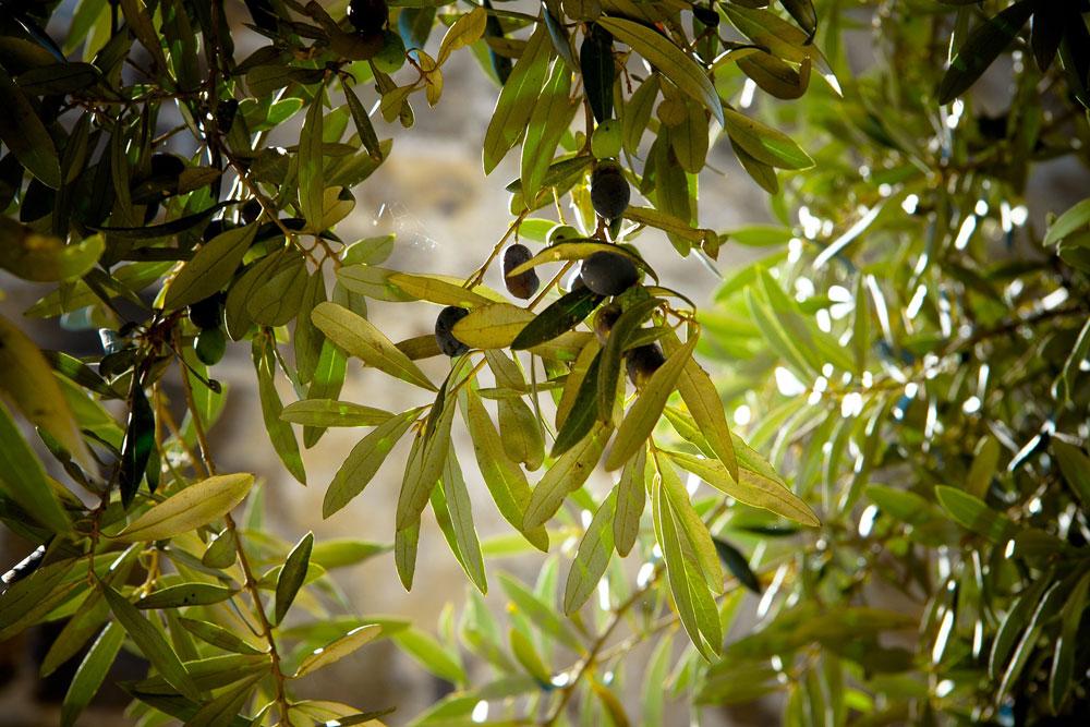 vareador-olivas-olivar